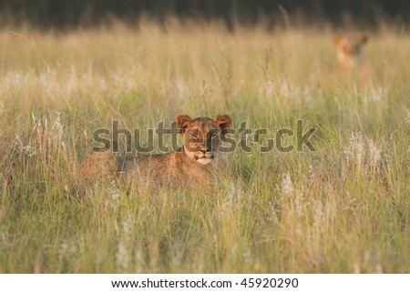 Lion cub relaxes in grassland in late afternoon with mother in background - stock photo