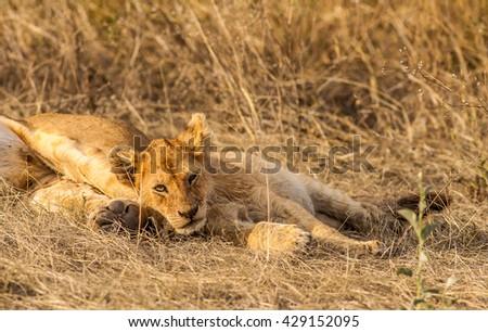 Lion cub resting - stock photo