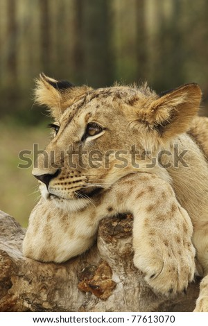 Lion cub resting - stock photo