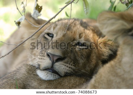 Lion cub resting in afternoon - stock photo