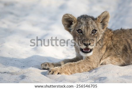 Lion Cub Siesta Stare - stock photo