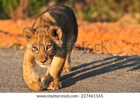 Lion Cub stalking - stock photo