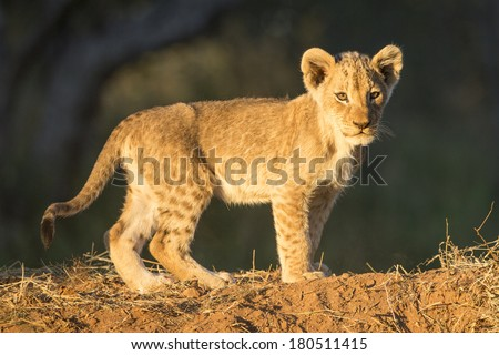 Lion Cub standing in South Africa's Kruger National Park - stock photo