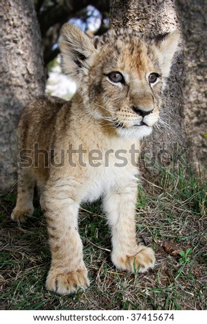 Lion Cub standing in the wild - stock photo