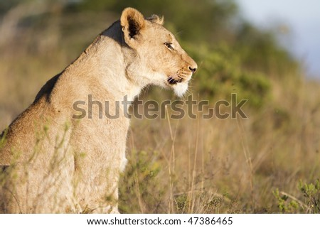 Lion cub stares - stock photo
