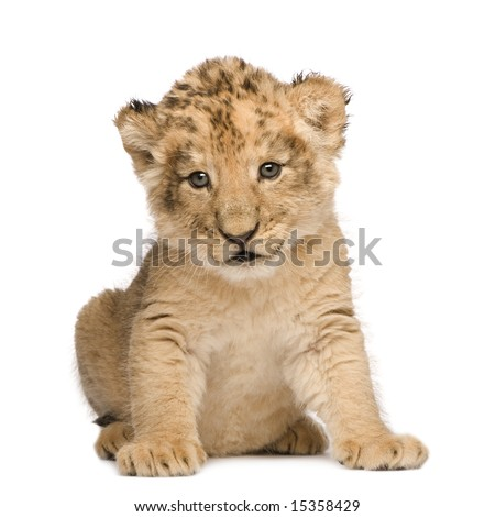 Lion Cub (6 weeks) in front of a white background - stock photo