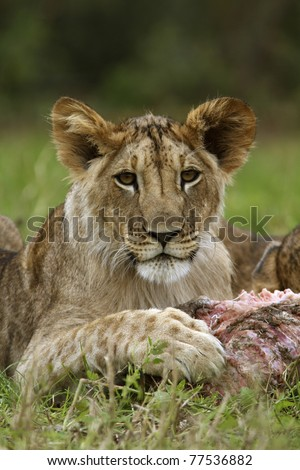 Lion cub with a prey