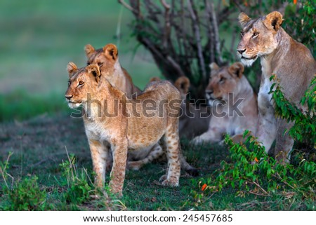 Lion cub with Double Cross pride in the background in Masai Mara, Kenya - stock photo