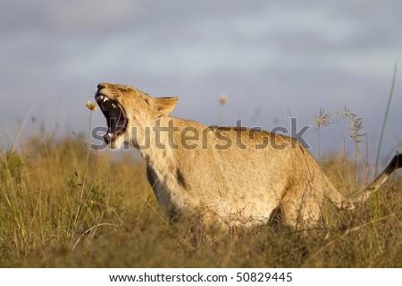Lion cub yawning - stock photo
