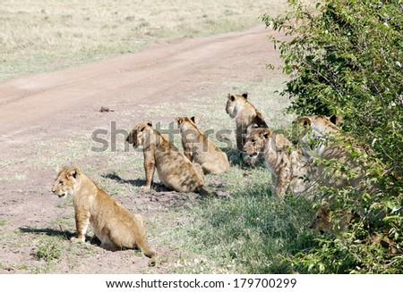 Lion cubs and lioness lining up near a bush of Masai Mara National Park - stock photo