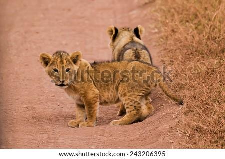 Lion cubs at Serengeti National Park - stock photo