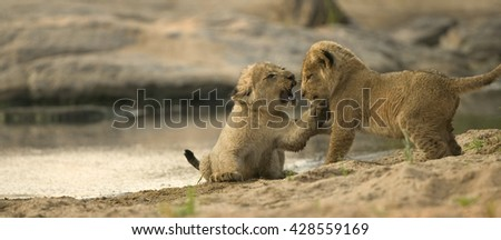 Lion cubs at watering hole - stock photo