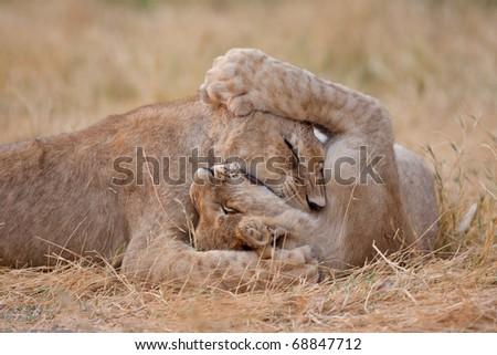 Lion Cubs, Chobe National Park, Botswana - stock photo