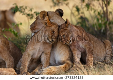 Lion cubs cuddle with mother after a good breakfast in Masai Mara, Kenya - stock photo