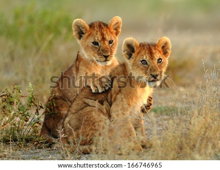 lion cubs cuddling - stock photo