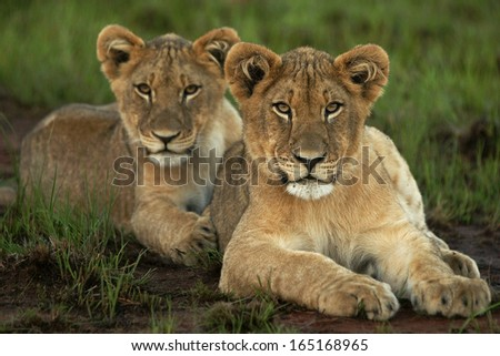 Lion Cubs in a row - stock photo
