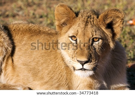 Lion cubs in the morning light in South Africa