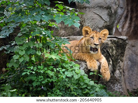 Lion cubs in the zoo. - stock photo