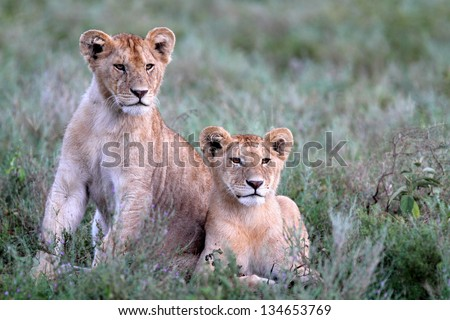 Lion cubs lying in green grass and looking in the distance - stock photo