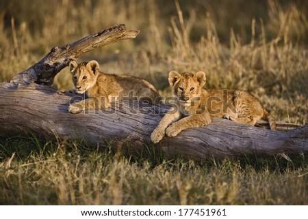 Lion cubs on log, Panthera leo, Masai Mara, Kenya - stock photo