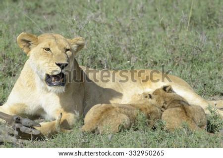 Lion cubs (Panthera leo) drinking from mother on the savanna, Serengeti national park, Tanzania. - stock photo
