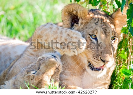Lion cubs playing - stock photo