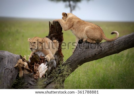 Lion Cubs playing on a tree limb in the Serengeti National Preserve