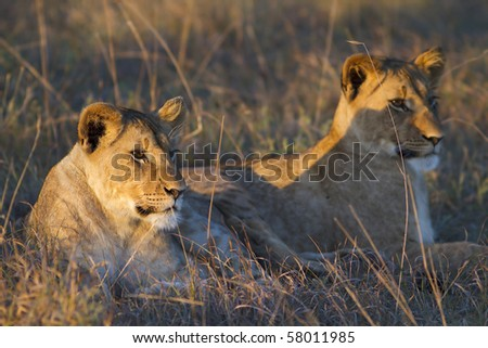 Lion cubs relax in late afternoon sunlight - stock photo