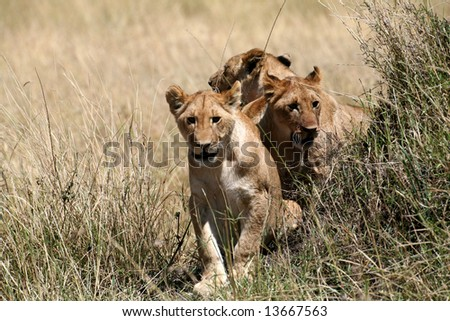 Lion cubs walking through the grass (Masai Mara; Kenya)
