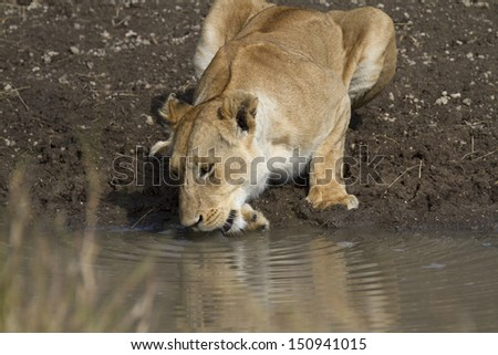 lion drinking water in waterhole - stock photo