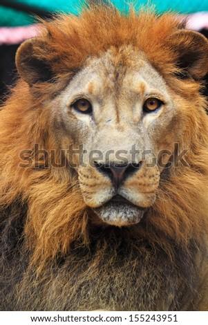 Lion face - stock photo