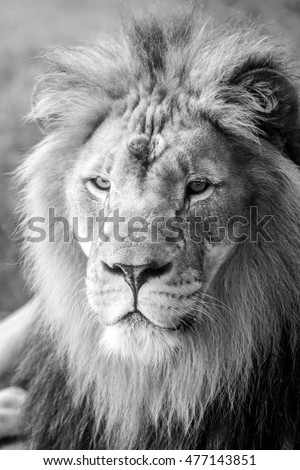 Lion Face with Large Mane - Close - Black and White