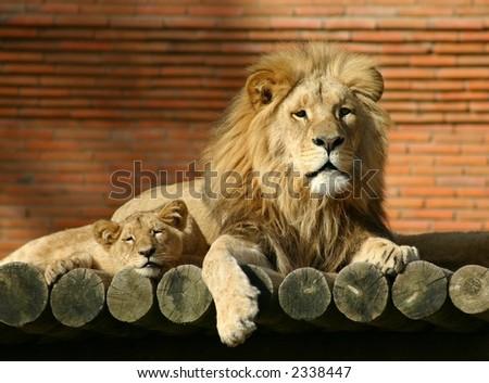 Lion Family - stock photo