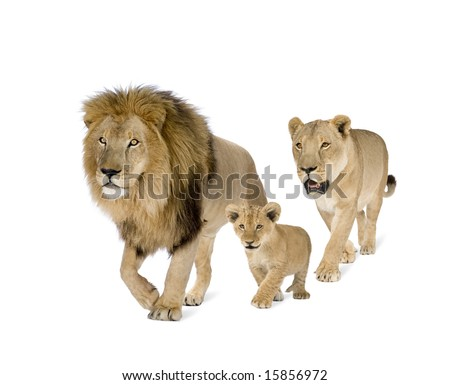 Lion family in front of a white background - stock photo