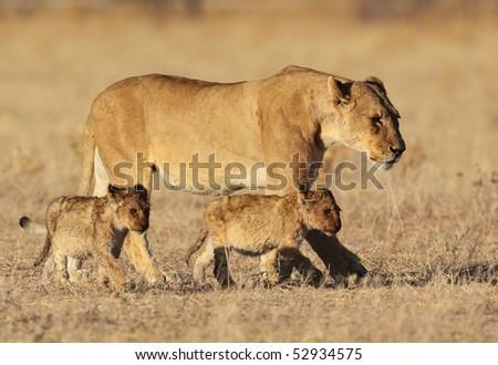 Lion family in golden sunrise light, Africa - stock photo