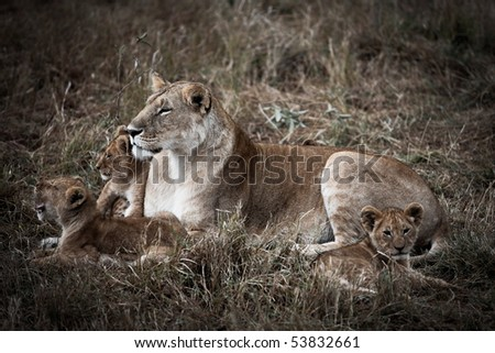 lion family in the masai mara reverse in kenya africa - stock photo