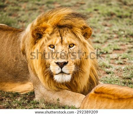 Lion family in wildlife Tanzania - stock photo