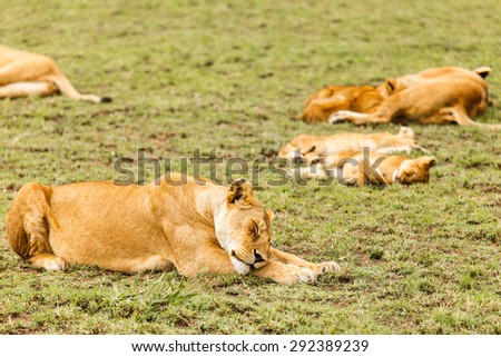 Lion family in wildlife Tanzania
