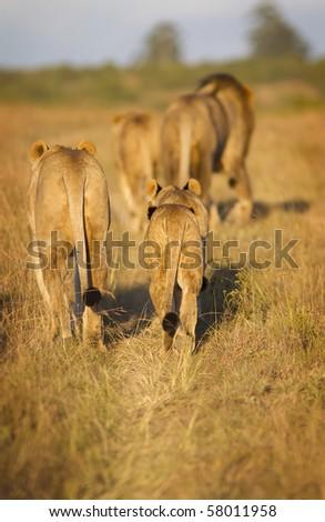 Lion family walking - stock photo