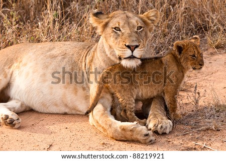 Lion family with cubs resting in the grass - stock photo