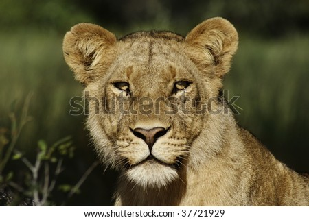 Lion female in the Okavango