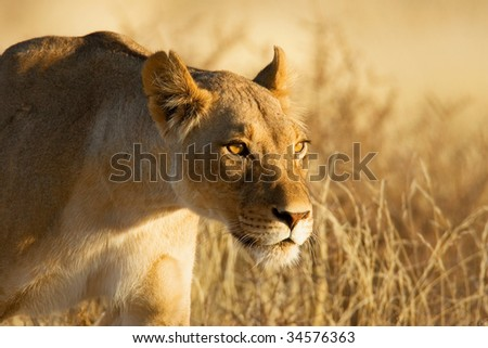 Lion; female; panthera leo; South Africa; Kalahari desert - stock photo