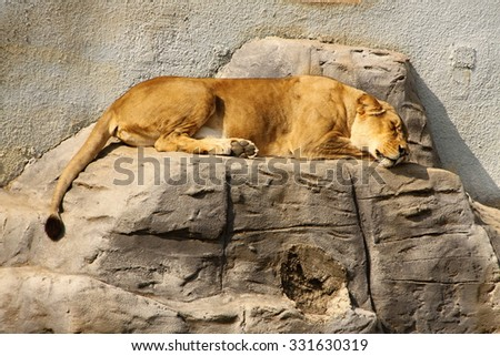 Lion female sleeping on the concrete rock
