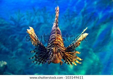 Lion-fish - stock photo