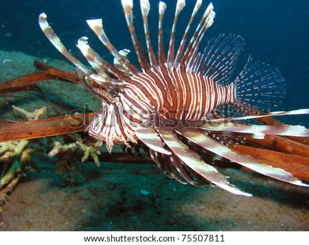 lion fish - stock photo