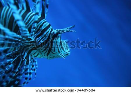 Lion fish - stock photo