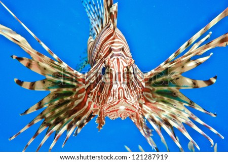 Lion Fish isolated on blue - stock photo
