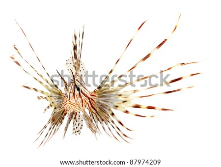 lion fish isolated on white background - stock photo