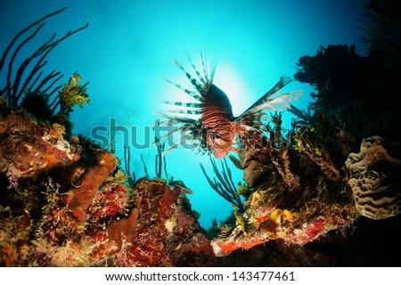 Lion fish swimming over the coral reef - Akumal, Riviera Maya, Mexico - stock photo