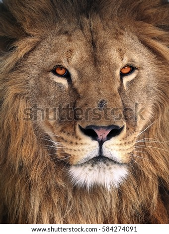 Lion great king portrait